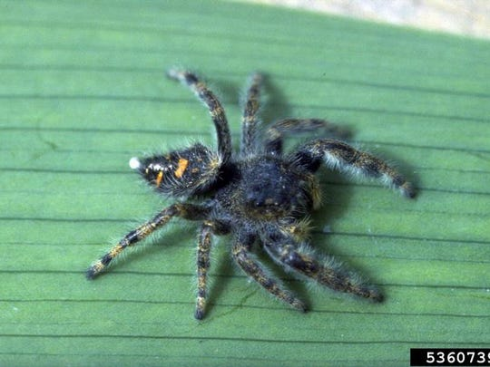 Jumping spiders (Phidippus audax) pounce on their prey, which usually includes insects and other spiders.
