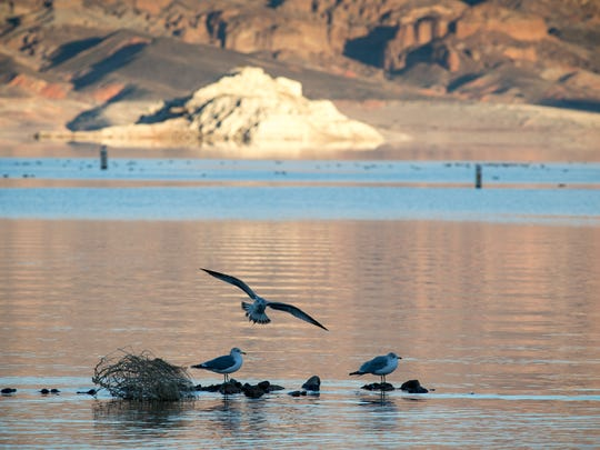"Gulls at Lake Mead's Boulder Beach. A high-water mark or ""bathtub ring"" is visible on the shoreline; Lake Mead is down over 145 vertical feet."