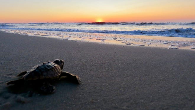 A loggerhead sea turtle hatchling mades its way into water as sun rises at Assateague Island National Seashore.