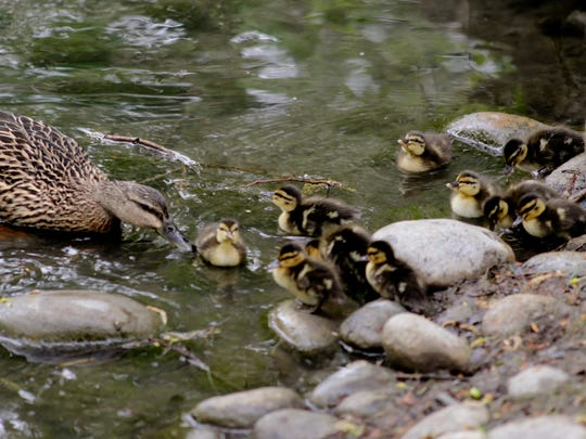 In this photo taken Thursday, April 30, 2015, a mother duck encourages her ducklings into the water as they reach Spring Creek after being escorted from their nest in the courtyard of Lewis and Clark Middle School in Billings, Mont.