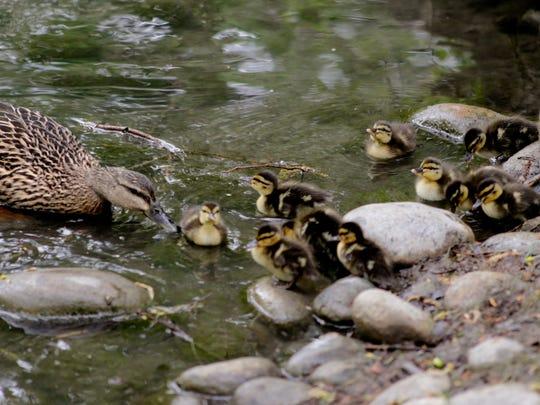 School yard ducks