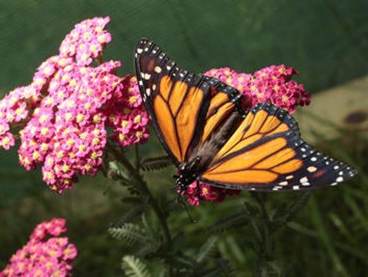 635818055707391954-butterfly