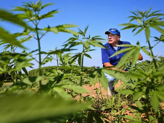 University of Kentucky agronomist Dave Williams looks over the hemp crop at a farm outside Lexington in this 2018 file photo.
