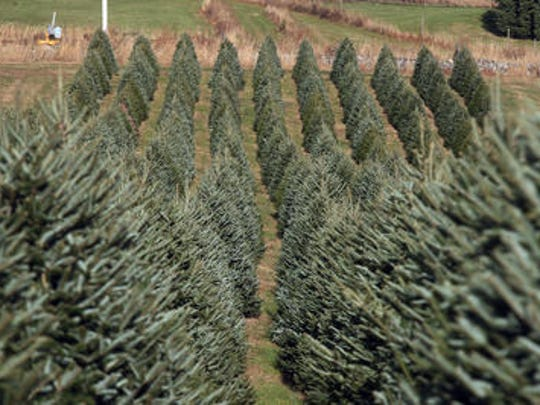 Run through the orderly rows of Christmas trees at