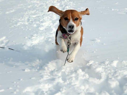 635524104483050388-beagle