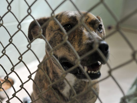Pit mix Bella comes to Vineland SPCA from a shelter