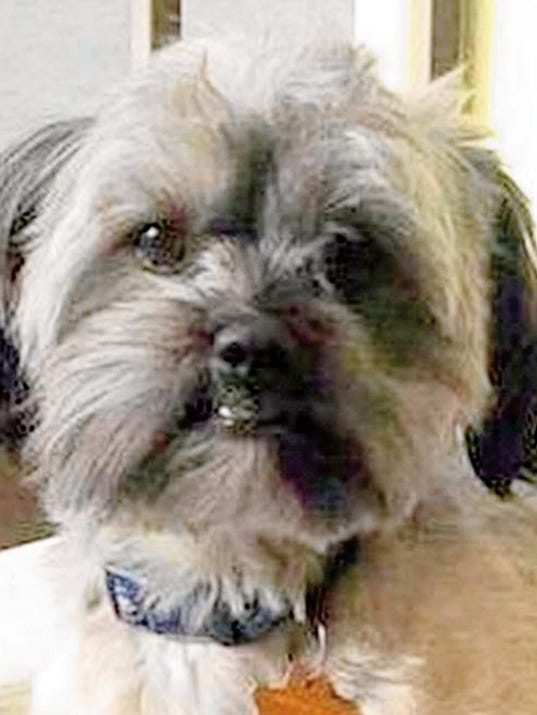 Rocky, a 3-year-old Shi Tzu, went missing from the KOA campground in Silver City on Aug. 29. Courtesy Photo
