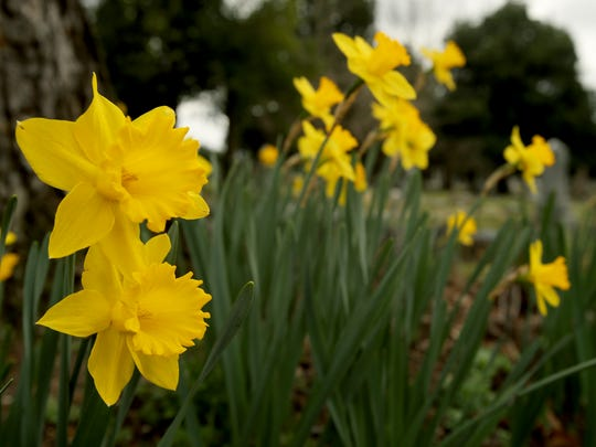 Daffodils are in bloom at Elmwood Cemetery.