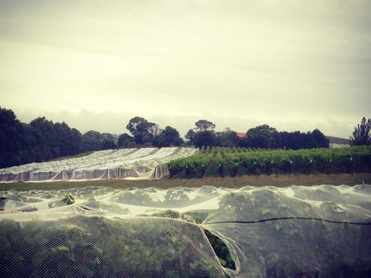 The vineyard at Pipers Brook is covered with netting to keep the birds from eating the grapes.
