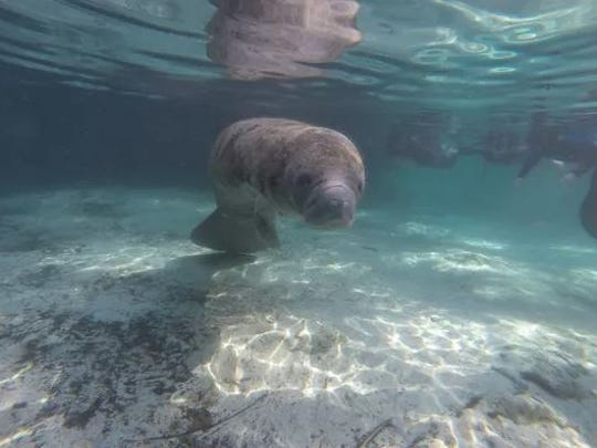 A manatee swims in Crystal River.