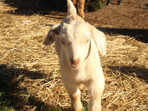 Goats to help recycle Christmas trees
