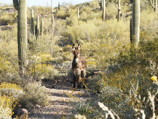 """We met this young burro on the Wild Burro Trail at"