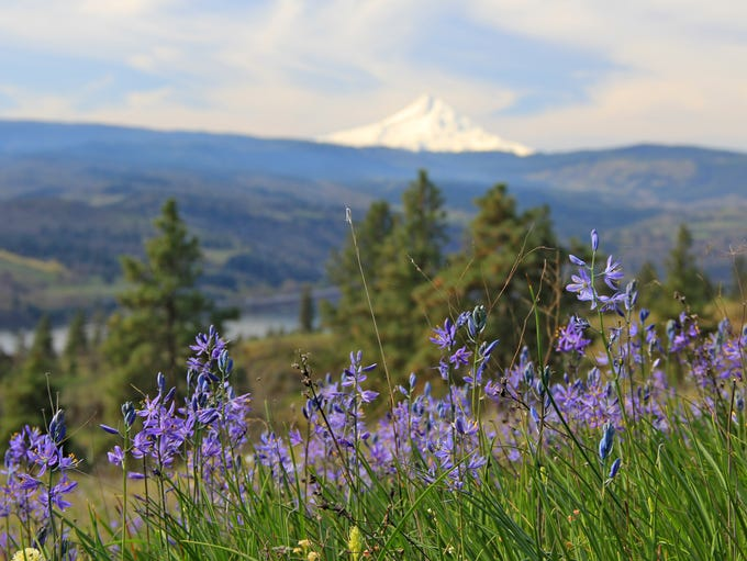 Groves of camas and views of Mount Hood highlight the
