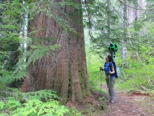 With the Google Trekker on her back — taking multiple photos per second — Chandra LeGue looks up a large cedar in Crabtree Valley.