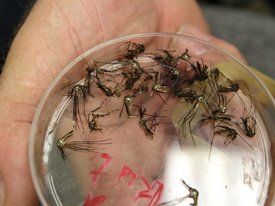 A variety of local mosquito species captured are viewed