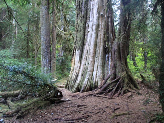Old-growth cedars are found at Cedar Flats on the Opal Creek Trail.