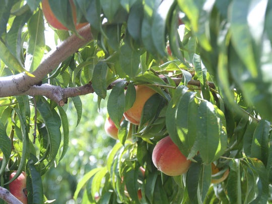 Peaches growing at Eastmont Orchards, a pick-your-own