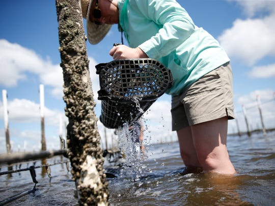 Colleen Dwyer, the associate director of the Wakulla Environmental Institute, pulls loose on of the oyster cages to inspect their growth at TCC's oyster farm on Friday, Sept. 18, 2015.