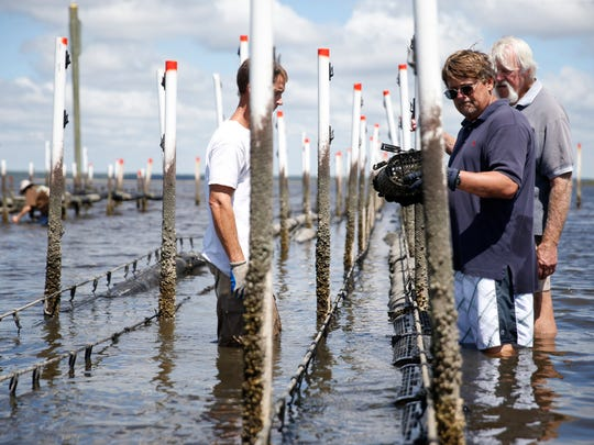 Bob Ballard, the director of the Wakulla Environmental Institute, works with students Matt Hodges, left, and Tim Jordan, far right, to place oyster cages at their farm in Panacea on Friday. Sept. 18, 2015.