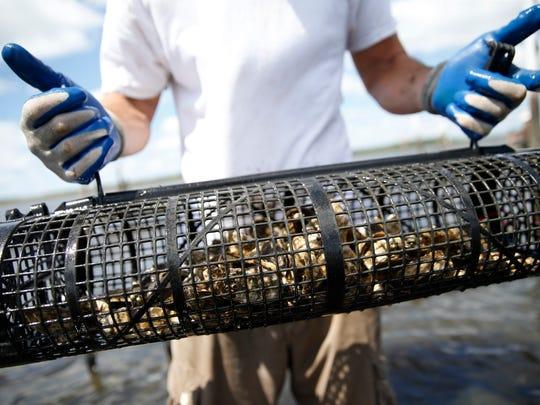TCC Oyster Aquaculture program student Matt Hodges