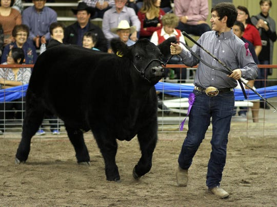 Michael Diaz showed his Grand Champion Steer at the Southwestern New Mexico State Fair Saturday during the Jr. Livestock Sale.