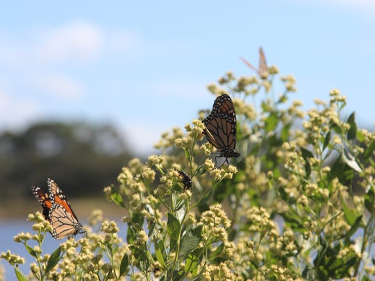 Monarch butterflies land on coastal shrubbery in the St. Marks National Wildlife Refuge during their winter migration
