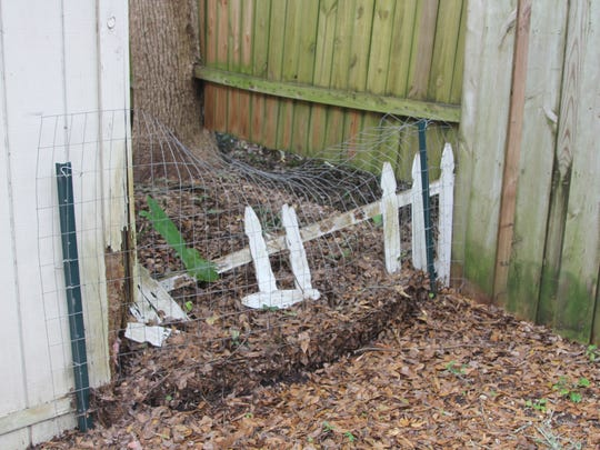 A rabid raccoon jumped this small fence to enter William Mercer's property before charging and knocking over a small child Monday evening.