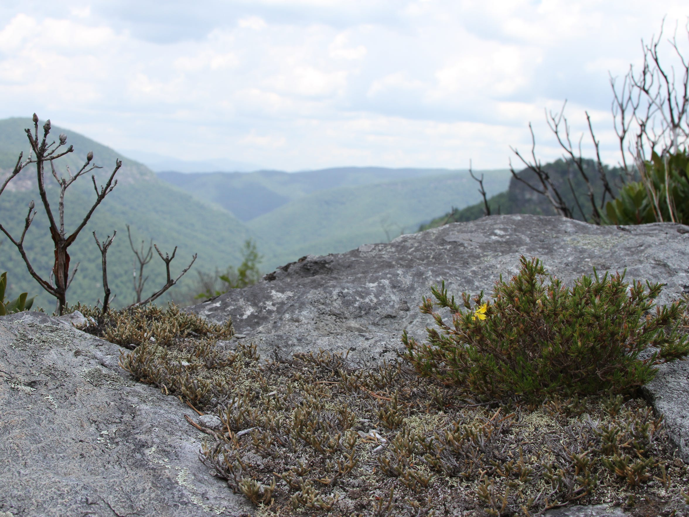 Mountain golden heather is an endangered plant found in high elevations of Western North Carolina.