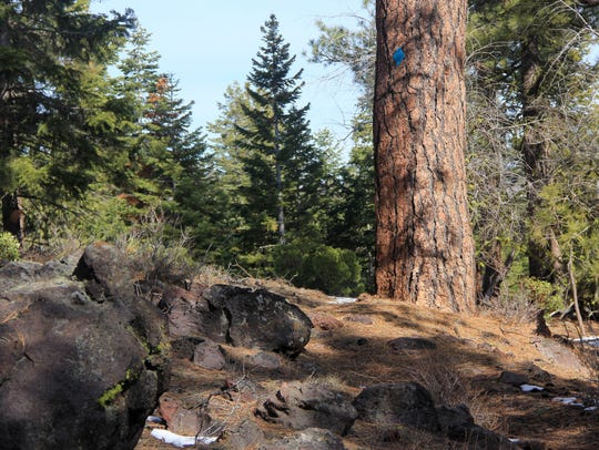 Large ponderosa pine line the trail to Hager Mountain