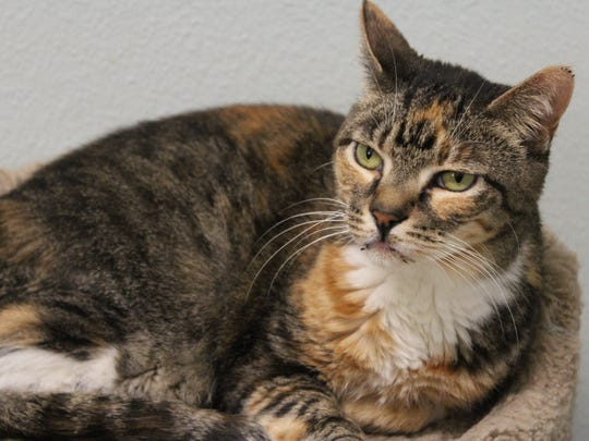 Asha, a 4-year-old cat available for adoption at the