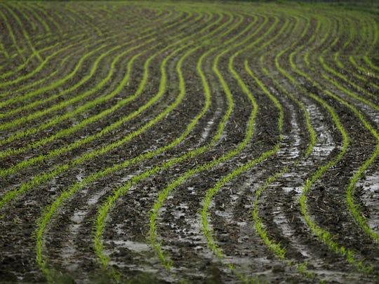 Corn plants grow in a wet farm field in 2013 near Prairie