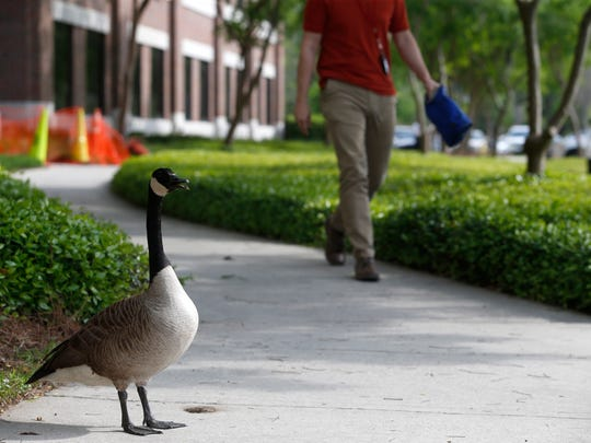 A Canada goose lurks outside of the Florida Department