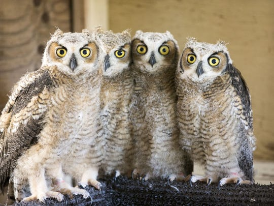 Young great horned owl nestlings now are safe at Liberty Wildlife Rehabilitation Foundation in Scottsdale, Az., after the mother was illegally shot and had to be euthanized.