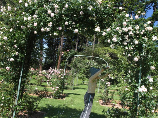 A Volunteer from the Garden Club of Irvington prunes Silver Moon Roses in the garden at Lyndhurst. The Garden Club's Plant sale is May 7.