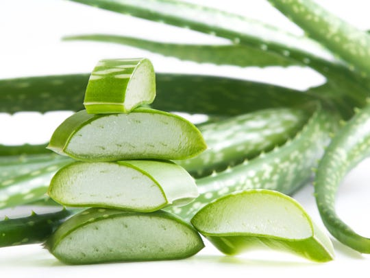 Most people are familiar with aloe vera for burns. It is a good first aid plant to have growing in your yard or in a pot.