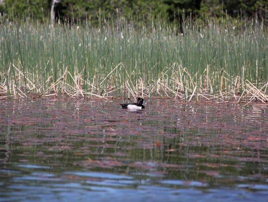 Wildlife is thick on Hosmer Lake.