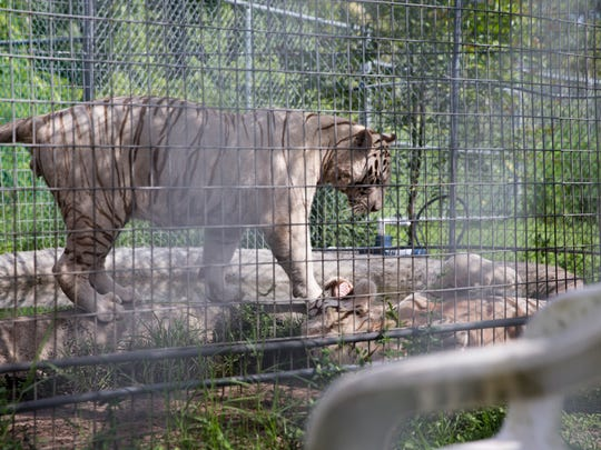 Twin white Bengal tigers Mali and Tanju play in their pen at the Kowiachobee Animal Preserve in Golden Gate Estates on July 8. The 2-year-old tigers are scheduled to be getting a larger enclosure soon, allowing the twins more room to run and explore. Kowiachobee, a nonprofit preserve, is home to over 100 animals and serves as a learning facility to educate visitors about animal conservation.