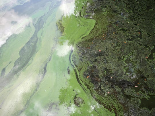 Algal blooms, seen here in Lake Munson on Saturday,