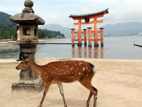 A wild dear roams around MiyaJima Island where many