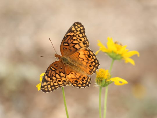 A Variegated Fritillary prepares to feed on a desert marigold in Las Cruces.
