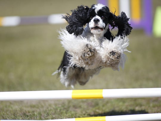 Mary Little Breeze, a Cocker Spaniel, jumps a gate while running the agility course at the American Kennel Club Dog Show at the North Florida Fairgrounds at a previous show.