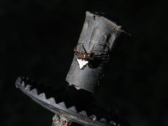 An orb weaver spider clings to the hiking pole I used