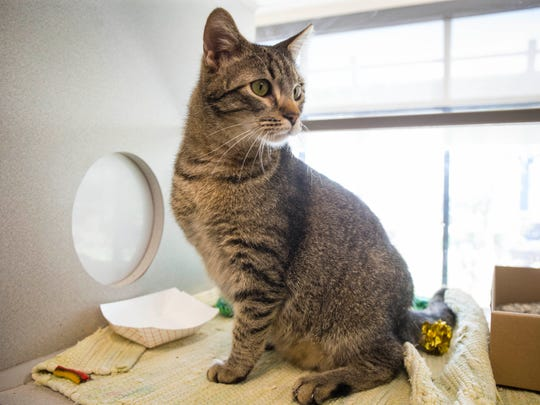 Frank, a year-old domestic shorthair with three legs, is up for adoption at the Animal Rescue League of Iowa.