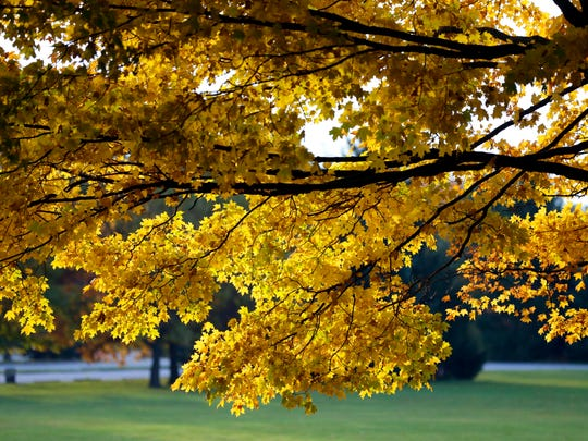 Yellow leaves fill a tree at Kletzsch Park in Milwaukee