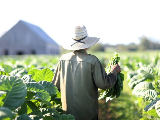 A worker in Cuba harvests tobacco leaves for drying. If trade restrictions were lifted, stakeholders say, Cuba could export things such as cigars to the U.S., while Louisiana could provide food and forestry products.