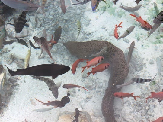 In this Nov. 3, 2015 photo, a moray eel and a variety