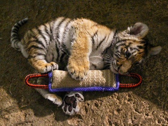 Kashtan, an Amur tiger cub, plays with a toy at the