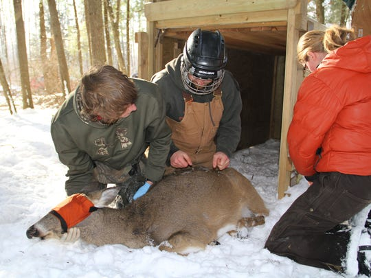 Reseachers prepare to place a radio-collar on a white-tailed deer caught in a box trap near Winter, Wisconsin in Feb. 2011 as part of a five-year study on deer mortality. Photo by Paul A. Smith.