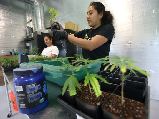 Trulieve Grower Raquel Rivera repots cloned plants at their medical marijuana facility in Quincy on Wednesday, Feb. 1, 2017.