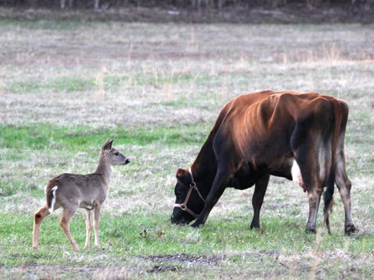 A Jersey cow, left, and fawn stand in the pasture near